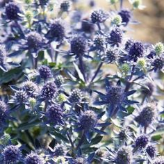 Sea Holly, Blue Hobbit - Brilliant blue flowers on heavy blooming dwarf, compact plants to 12 inches tall. Perfect for containers or at the front of borders, it is a wonderful accent plant. Blooms July to September. Winter hardy to zone 4.