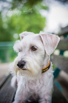 So Cute and Acting Shy by Kathryn Willis Photography #Miniature #Schnauzer