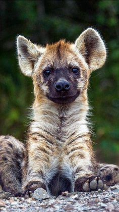 Cute Baby Animals, Animals And Pets, Funny Animals, African Wild Dog, African Safari, My Teddy Bear, Wild Dogs, Cute Animal Pictures, Cutest Animals