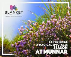 Once in a blue moon, neelakurinji blooms in Munnar. Get ready to be immersed in the magical blues, neelakurinji season in Munnar. The sheer magnificence and beauty of the blue flowers in abundance covering the landscapes are a must watch in a lifetime! Munnar, Get Ready, Hotel Spa, Blue Moon, Blue Flowers, Bloom, Seasons, Landscape, Scenery