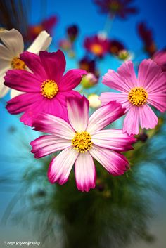 ~~COSMOS COSMO by *WindyLife~~