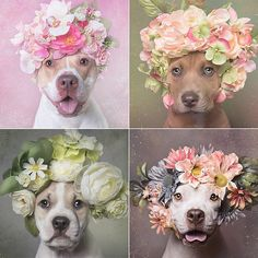 """Photographer Sophie Gamand's project """"Flower Power,"""" in which she photographs pit bull breed shelter dogs wearing flower crowns, challenges the negative way that society perceives the misunderstood breed. I Love Dogs, Cute Dogs, Animals And Pets, Cute Animals, Pitbulls, Pit Bull Love, Pitbull Terrier, Dog Photos, Beautiful Dogs"""