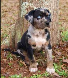 Catahoula pup Dachshund Puppies, Cute Dogs And Puppies, Doggies, Sweet Dogs, Rare Dogs, Leopard Dog, Cute Dog Pictures, Large Dog Breeds, Beautiful Dogs