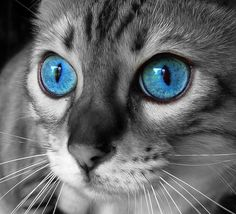 #cat #eyes #selective #color #b