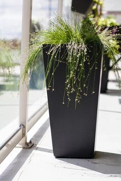 https://flic.kr/p/GYKdbp | Fiber Optic Grass | The plant is native to Western and Southern Europe and found in sandy to peaty zones, often near the sea or other water bodies. Try growing fiber optic grass in a container or water garden.   Balcony Garden 2016