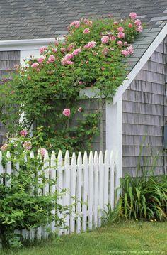 Fence and Roses in Backyard Nantucket, Siasconet, Massachusetts