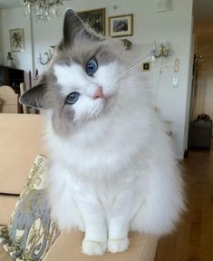 The ragdoll cat is a large breed of cat, best known for its easygoing and mellow nature. Wonderful Caring for a Ragdoll Cat Ideas. Cute Cats And Kittens, I Love Cats, Crazy Cats, Kittens Cutest, Pretty Cats, Beautiful Cats, Animals Beautiful, Gatos Cool, Cat Aesthetic