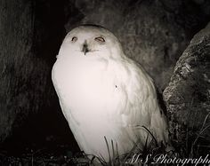 Snow owl Wildlife Photography, Owl, Birds, Animals, Smart Cookie, Animales, Animaux, Owls, Bird