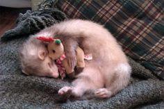 Popcorn the cute ferret