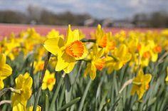 Spring bulbs @ Bollenstreek by Michiel020