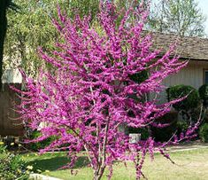 Cercis 'Oklahoma'  15'ht Glossy heart shaped leaves and bright pink flower on bare stems in early spring.