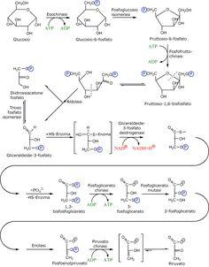Il processo biologico della glicolisi: dal glucosio al piruvato per ottenere…