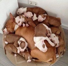 Pitbulls puppies -- CLICK Visit link to read Cute Baby Animals, Animals And Pets, Funny Animals, Nature Animals, Wild Animals, Cute Puppies, Cute Dogs, Dogs And Puppies, Doggies