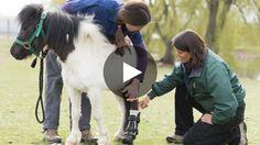 Amputé de l'extrémité de sa patte, un petit poney de 3 ans nommé Shine a pu remarcher de nouveau grâce à une...