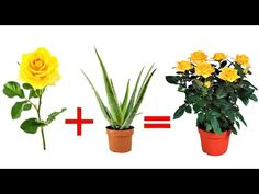 cut rose + aloe leaf, combine them and the result will surprise you Planting Roses, Planting Seeds, Planting Succulents, Orchids Garden, Garden Plants, Aloe Vera, Growing Roses, Bonsai Garden, Plant Care