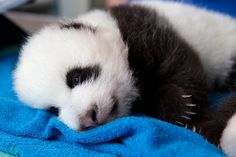 """The baby panda at The Washington Zoo is making it's first EVER public debut tomorrow!!! does anyone know about """"Panda Cam""""?"""
