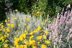 June 2013 - Helicrisum italicum,  Stachis lanata and others