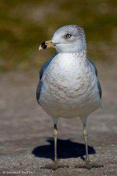 Ring-billed Gull by Sandeep Dutta on 500px