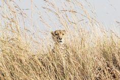 Cheetah in the Grass, Kenya.  Taken in the Maasai Mara.