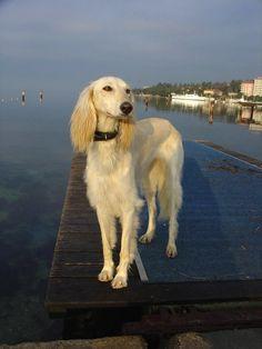 Truely beautiful hounds  Saluki Sighthound  321dogs.com