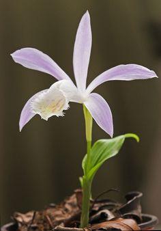 La Pleione es un grupo de 10 especies de orquídeas del sureste asiático que está volviéndose cada vez más popular por sus hermosas flores, las cuales aparecen desde finales del invierno hasta principios de la primavera.