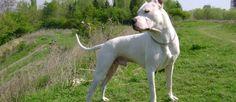 """De oorsprong ligt in de jaren 1920 en de de Argentijnse Dog (ook wel Dogo Argentino) werd ontwikkeld door Dr Antonio Martinez Nores. Het ras werd ontwikkeld om een onverschrokken jager op groot wild te worden. Ze werden ook gebruikt bij de politie en in het leger. Echter, de Argentijnse Dog werd een favoriet in de """"sport"""" van hondengevechten en als gevolg daarvan kreeg dit ras negatieve bekendheid. In 1991 werd de Argentijnse Dog verboden in Groot-Brittannië. Ook zijn ze verboden in…"""