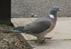 pictures of pigeons   Size of this preview: 800 × 549 pixels . Other resolutions: 320 ...