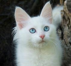 Ankara Kedisi (Angora Kedisi) Özellikleri ve Bakımı