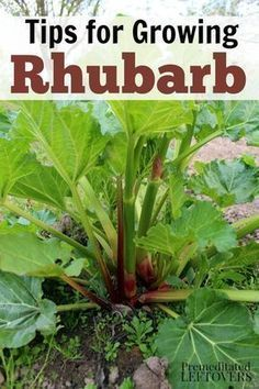 How to Grow Rhubarb in your garden - Gardening Tips for growing rhubarb, including how to plant rhubarb crowns, how to care for rhubarb plants, and how to harvest rhubarb plants. This perennial makes a great addition to your garden! #howtogrowagarden