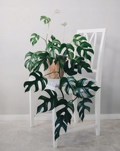 That can't be a Monstera ~ look at how the leaves are split! Commonly mistaken to be a Monstera or a Philodendron, 🙀 this is actually a… House Plants Decor, Plant Decor, Exotic House Plants, Uk Plant, Popular House Plants, Rare Plants, Potted Plants, Foliage Plants, Succulent Plants