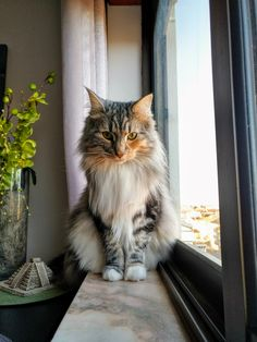 My beautiful Cheza is 2 years old today!   cats funny pictures
