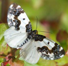 Small Black and White Lep - Mesoleuca gratulata
