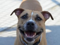 """NALA - A1023388 - - Brooklyn  TO BE DESTROYED 07/06/15 Stunning Nala just can't seem to catch a break! First her original owner left her with a friend and never came back for her. Then, 2 months later, that friend could no longer keep her and brought her to Brooklyn ACC. But she thought she'd made it when she was adopted in May but her head must have been spinning when those folks brought her back two weeks later for """"personal problems"""". Reading her behavioral and m"""