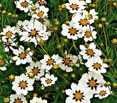 Coreopsis Star Cluster, white with purple center.