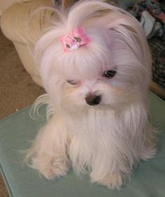 toy maltese--Always adopted at a reuses, or Shelter. NEVER BUY a dog from a pet store. Teacup Maltese, Teacup Puppies, Maltese Dogs, Mini Maltese, Tiny Puppies, Cute Dogs And Puppies, I Love Dogs, Doggies, Beautiful Dogs