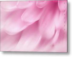 La Vie en Rose - Chrysanthemum Lightness Metal Print by Jenny Rainbow. All metal prints are professionally printed, packaged, and shipped within 3 - 4 business days and delivered ready-to-hang on your wall. Choose from multiple sizes and mounting options. All Flowers, Beautiful Flowers, Aluminium Sheet, Got Print, Chrysanthemum, Fine Art Photography, Home Art, Fine Art America, Framed Prints