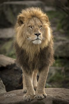 Lion! - The king of the animals in munich. A lion in the zoo Hellabrunn. All rights by Münchner Tierpark Hellabrunn