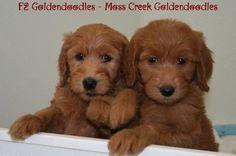 Goldendoodles Moss Creek