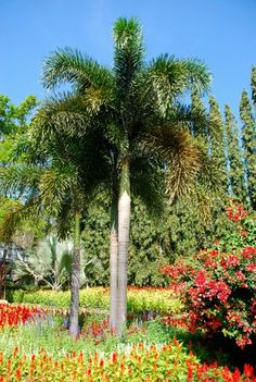 foxtail-palm