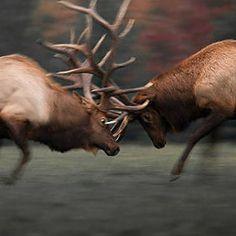 Elk - North American Wildlife of the Frozen North