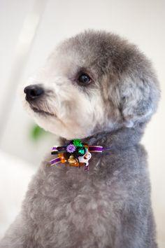 #haircut #toypoodle #silverpoodle ♡  w/ #halloween ribbon