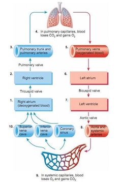 Blood flow of heart blood flow physiology path of blood flow this site has lots of awesome heart diagrams and blood flow charts ccuart Image collections
