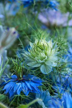 **  cornflower