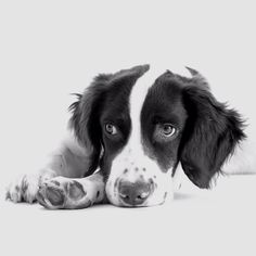 Toby - English Springer Spaniel, not technically a person but his portrait is great