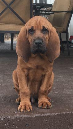 Our bloodhound puppy, Copper
