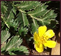 Prairie Wildflowers: Common Silverweed. Copyright © Shelley Banks, all rights reserved. Banks, Wild Flowers, Herbalism, Healing, Herbs, Herbal Medicine, Wildflowers, Herb, Couches