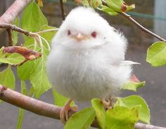 Albino baby Long-Tailed Tit, by tasha_oscar Pretty Birds, Beautiful Birds, Animals Beautiful, Rare Albino Animals, Unusual Animals, Melanistic Animals, Tier Fotos, Mundo Animal, Little Birds