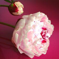 Peonies are the best! #flowers #prettyinpink #pink #weddingphotographer #HKf #peony Kijk voor meer info op www.heleenklop.nl