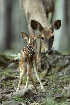 newborn fawn and doe - so cute