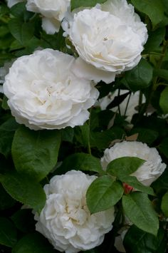 'Winchester Cathedral' rose. So pure and white.